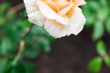 Beautiful Yellow Rose Flower After Rain