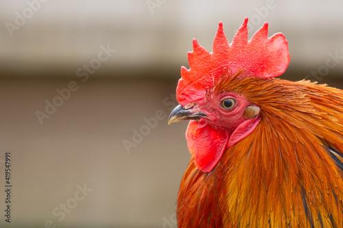 Slika na platnu rooster