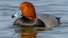 Red Head Duck In Flight And On The Water