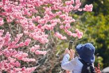 春の満開の桜の花を携帯電話で撮影しているシニア女性の姿
