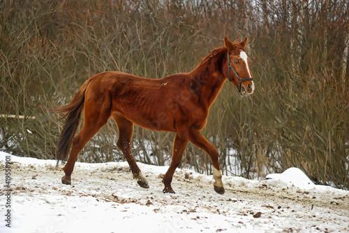 Slika na platnu horse in winter in a paddock in the forest