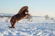 canvas print picture - Islandpferd im Schnee