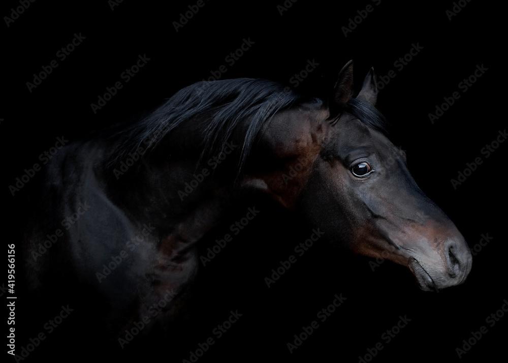 Fototapeta czarny koń