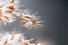 Close-up Of The Grass Of Dry Reeds After The Rain. Boils Of Water Flow Down The Dryflower.