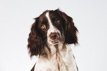 Close Up Of An English Springer Spaniel Face With A Tilted Head On A White Background