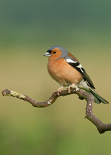 Chaffinch Perched On A Curly Branch