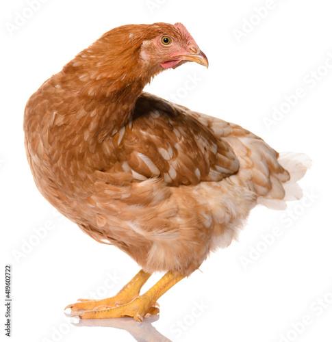 Fotografija one brown chicken isolated on white background, studio shoot
