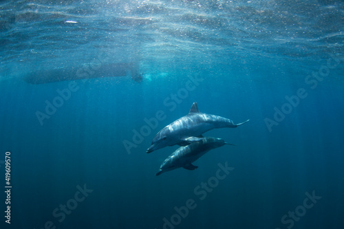 Foto Bottlenose dolphins swimming in the Indian ocean