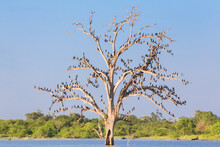 A Dead Tree In The Water Is Covered With A Flock Of Little Cormorant (Microcarbo Niger) Birds At A Watering Hole In Udawalawe National Park, Sri Lanka.