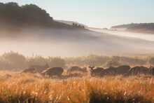 Golden Morning Misty Light Behind A Herd Of Sambar Deer (Rusa Unicolor) In The Countryside Landscape Of Horton Plains National Park In The Central Highlands Of Sri Lanka.