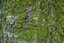 Bark Of Populus Alba With Green Moss And Lichen