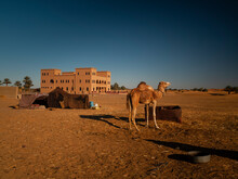Desert Camel Resting After A Tour, Morocco Desert.