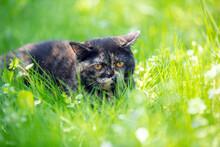 Little Tortoiseshell Kitten Lies On The Grass In The Summer Garden