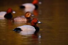Common Pochard - Aythya Ferina - Swimming On Lake