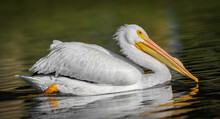 American White Pelican (pelecanus Erythrorhynchos) Swimming In Calm Water, Showing Breeding Bump, Great Detail On White Feathers