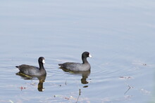 Pair Of American Coots Swimming