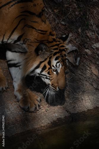 Slika na platnu tiger wildlife mammal predator, wild carnivore animal, bengal tiger showing in z