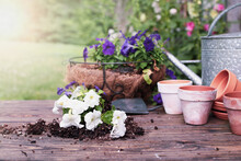 Outdoor Garden Bench With White And Purple Petunia Flowers In Front Of A Stand Of Hollyhock Plants. Extreme Shallow Depth Of Field With Selective Focus On Unpotted Plant.