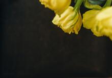Yellow Tulips On Black Background
