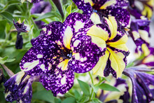Group Of Purple And Yellow Petunias