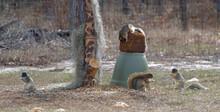 4 Sherman's Fox Squirrel (Sciurus Niger Shermani) Eating At A Backyard Deer Feeding Station In Central Florida; Aka Eastern Or Southern Fox Squirrels