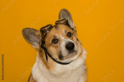Canvastavla portrait of a funny corgi dog puppy with big ears on a yellow isolated backgroun