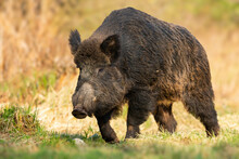 Dangerous Wild Boar, Sus Scrofa, Approaching From Front On Glade In Springtime. Threatening Wild Mammal With Long Tusks Coming Forward On Meadow From Front. Strong Animal Walking On Green Grass.