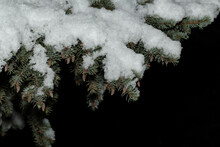 Spruce Branch With Cones Under The Snow On A Black Background.