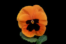 Studio Shot Of Orange Colored Pansy Flower Isolated On Black Background. Large Depth Of Field (DOF). Macro. Symbol Of Fun And Reminiscence.