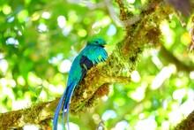 Quetzal Resplendissant, Cerro De La Muerte, Costa Rica, Amérique Centrale