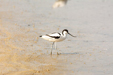 Water Bird, Wading, Wild In A Lake, Feeding On Looking For Small Crustaceans Himantopus Himantopus
