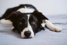 Border Collie Resting While Lying On Bed At Home