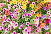 Close Up Of Colorful Summer Flowers Petunia And Begonia