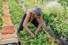 Female Farmer Harvesting Fresh Strawberries At Farm