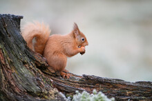 Red Squirrel Eating Hazelnut While Sitting On Branch