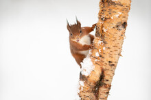 Red Squirrel Climbing On Tree Trunk During Snowy Season