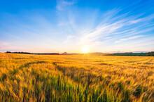 UK, Scotland, East Lothian, Field Of Barley (Hordeum Vulgare)