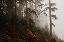 Weathered, Tall Trees On A Hillside On A Foggy Day On The West Coast In BC, Canada