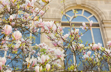 A Magnolia Tree In Bloom In Front Of A Parisian Building