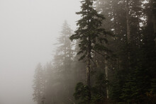 Fog Obscures Tall Trees