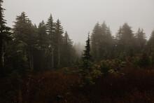 Tall Trees On A Foggy Day On The West Coast