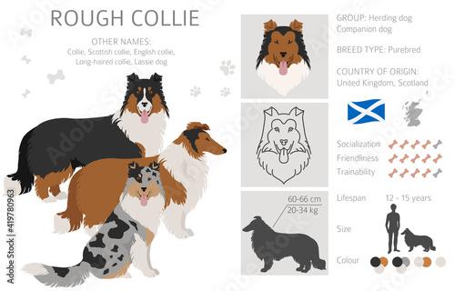 Fototapeta Rough collie clipart. Different poses, coat colors set. obraz