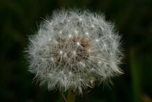 Closeup Of A White Fluffy Dandelion In A Garden