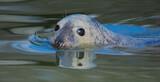 Fototapeta Zwierzęta - Warsaw ZOO - grey seal