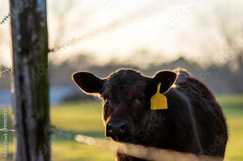 Cute Angus heifer looks through a barbed wire fence Fototapet