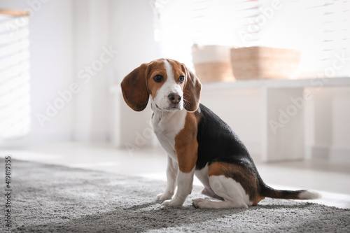 Photographie Cute Beagle puppy at home. Adorable pet