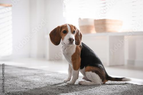 Fototapeta Cute Beagle puppy at home. Adorable pet