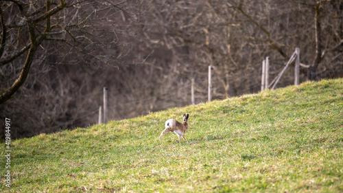 Hase rennt über eine Wiese im Frühjahr