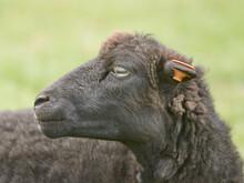 Close Up Portrait Of Female Black Ouessant Sheep