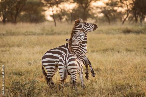 African zebras at beautiful landscape during sunrise safari in the Serengeti National Park. Tanzania. Wild nature of Africa.. - fototapety na wymiar